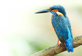 Common Kingfisher Royalty Free Stock Photo