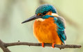 Common kingfisher photo of a alcedo atthis in its natural habitat Stock Image