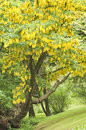 Common Laburnum tree Royalty Free Stock Image