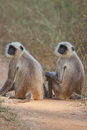 Common Langur monkeys Royalty Free Stock Photos