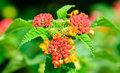 Common lantana lantana camara flowers of Stock Photo