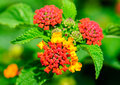Common lantana lantana camara flowers of Stock Photography