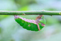 Common lime butterfly cocoon hanging on tree Royalty Free Stock Image