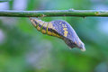 Common lime butterfly cocoon hanging on tree Royalty Free Stock Images