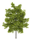 Common lime tree isolated on white background Royalty Free Stock Images