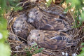 Common linnet baby birds laying in the nest Royalty Free Stock Image