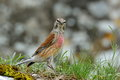 The common linnet carduelis cannabina in natural habitat Royalty Free Stock Images