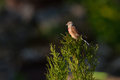 Common Linnet Royalty Free Stock Photo