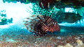 Common Lionfish,Pterois volitans Stock Photography