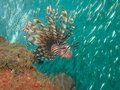 Common lionfish wide angle portrait of a hunting bait fish under a pier Stock Photo