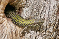 Common lizard a as he walks out from his lair in the trunk of an olive tree Royalty Free Stock Photo