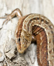 Common lizard (Zootoca vivipara) Royalty Free Stock Photo