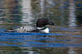 Common Loon Stock Photos