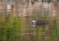 Common Loon Chick Stock Photos