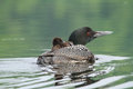 Common loon and chick a her hitching a ride on her back Royalty Free Stock Photography