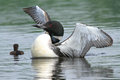 Common loon and chick a stretches its wings as its day old swims close by Royalty Free Stock Image