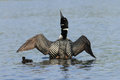 Common loon and chick a stretches its wings as its day old swims close by Stock Photos