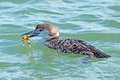 Common loon with crab in mouth Stock Photo