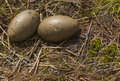Common Loon Egg Nest Royalty Free Stock Photo