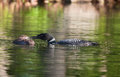 Common Loon feeding chick Royalty Free Stock Photography