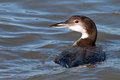 Common loon floating ocean Royalty Free Stock Photo