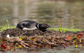 Common Loon on nest Royalty Free Stock Photo
