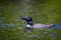 Common loon swimming in adirondack lake Stock Photography