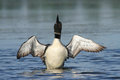 Common loon wing stretch a stretches and dries its wings Royalty Free Stock Image