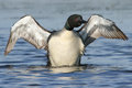Common loon wing stretch a stretches and dries its wings Royalty Free Stock Images