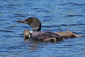Common loon with young one ontario canada Stock Photography