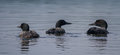 Common Loons Royalty Free Stock Photo