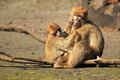 Common macaque Royalty Free Stock Photos