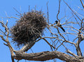 Common magpie near nest on dry tree Stock Image