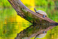 Common map turtle is resting on a log on a small lake in central kentucky Royalty Free Stock Image