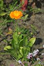 Common Marigold Royalty Free Stock Photo