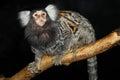 Common marmoset Royalty Free Stock Photo