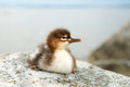 Common merganser chick Royalty Free Stock Photo