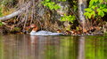 Common Merganser. Royalty Free Stock Photo