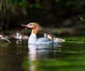 Common Merganser. Royalty Free Stock Photo
