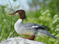 Common merganser or Goosander (Mergus merganser) Stock Photography