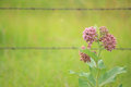 Common milkweed Royalty Free Stock Photo