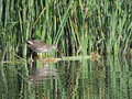 The Common Moorhen 3–4 Mo...