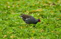 Common moorhen Royalty Free Stock Photo