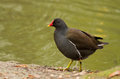 Common Moorhen Royalty Free Stock Photography