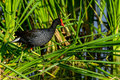 Common moorhen balancing portrait viera wetlands Stock Photography