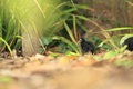 Common moorhen chick on the soil Stock Photo