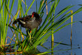 Common moorhen cleaning up at viera wetlands Stock Photography