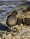 Common Moorhen (Gallinula chloropus) Royalty Free Stock Photos