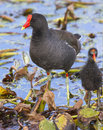 Common moorhen gallinula chloropus with a chick brazos bend state park needville texas usa Stock Photo