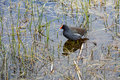 Common Moorhen (Gallinula chloropus chloropus) Stock Photos